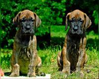 deutsche-dogge-2-monate-gelb-szekesfehevar