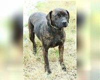 staffordshire-bull-terrier-9-jahre-overath
