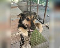 schaeferhund-subadult-dreifarbig-braun-schwarz-kirchhain