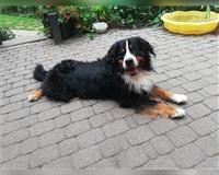 berner-sennenhund-5-jahre-herford