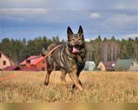 schaeferhund-4-jahre-dreifarbig-braun-schwarz-mainhardt