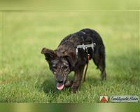 hollandse-herdershond-5-monate-gestromt-velbert