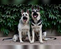 schaeferhund-1-monat-grau-arnstadt