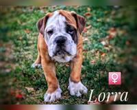 english-bulldog-5-monate-pulheim