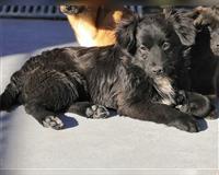 mischling-5-monate-schwarz-schortens