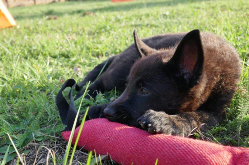 Hollandischer Schaferhund Welpen ᐅ Hollandischer Schaferhund 2020 05 04